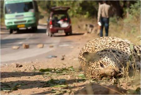 A Leopard was killed in a road accident in MM hills, Mahabaleshwar.