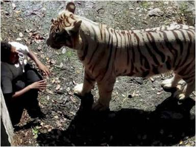 Delhi Zoo incident- A boy fell in a white tiger's enclosure.